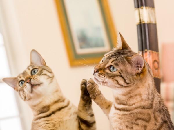 0051-01 Katzen und Spiegel